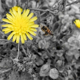 myphotography photography bee flowers yellow freetoedit