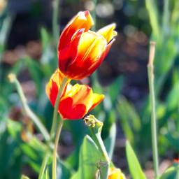 pcminimalism minimalism freetoedit tulip