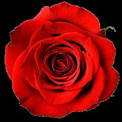 cuorelucymy lucymy mialu flowers rosalucymy freetoedit