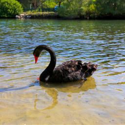 swan bird nature landscape naturephotography