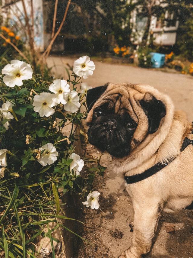#autumnflowers #september #septembermorning #flowershot #pugsforlife #puglove #pugdog