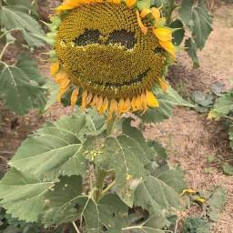 sunflowerfestival virginia smileyface freetoedit