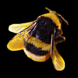 freetoedit bumblebee