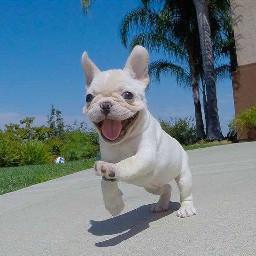 frenchbulldog french bulldog puppy dog