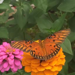 butterfly freetoedit challenge