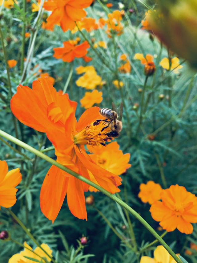 #flower #wisconsin #yellow #orange #garden #natural #bees #flowers #interesting #photography #freetoedit