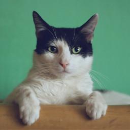 cat cats pet pets animal freetoedit