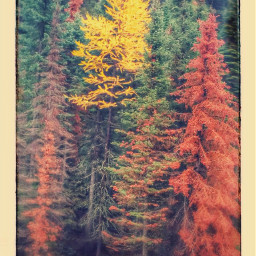 freetoedit fall forest pinetrees mountain