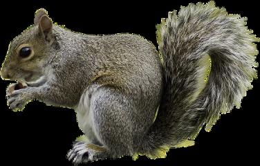 squirrel freetoedit