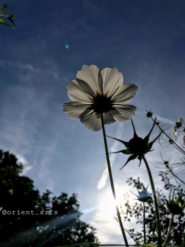 Happy Sunday my friends 🙋🏻♂️  #freetoedit #summer #sun #flower #bluesky #clouds
