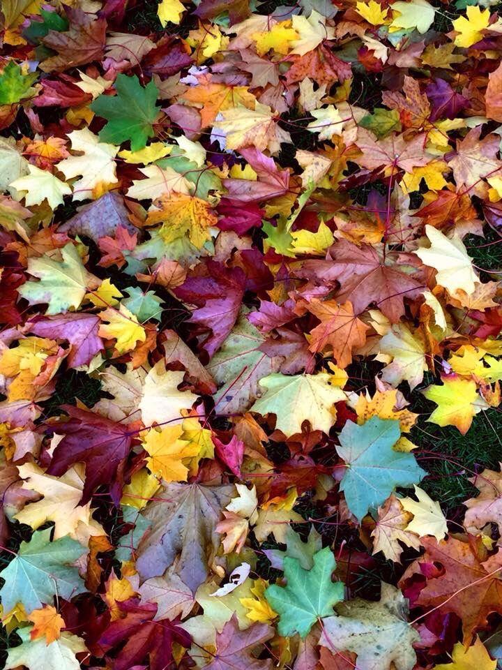 #autumncolors #mapleleaves #myphoyography #picsart @picsart