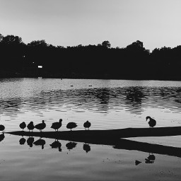 monochrome riverside nature photography ducks pcblacknwhite