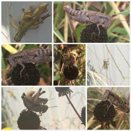 freetoedit grasshoppers