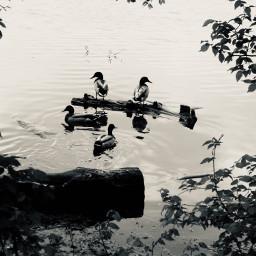 pcblacknwhite blacknwhite mallard mallardducks lake freetoedit blackandwhite
