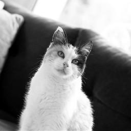 freetoedit photography cat gato feline pcblacknwhite