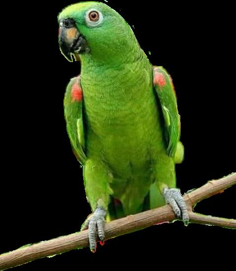 #parrot #papagaio #ave #passaro #animal #natureza #nature