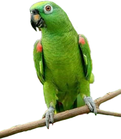 parrot papagaio ave passaro animal freetoedit