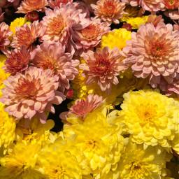 freetoedit mums florals floralpattern autumn