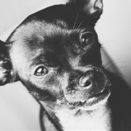 dog pet chihuahua creek blackandwhite freetoedit