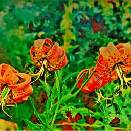 freetoedit lilies wildflower orange colorful
