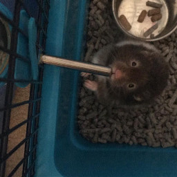lucky hamster ilovehamsters