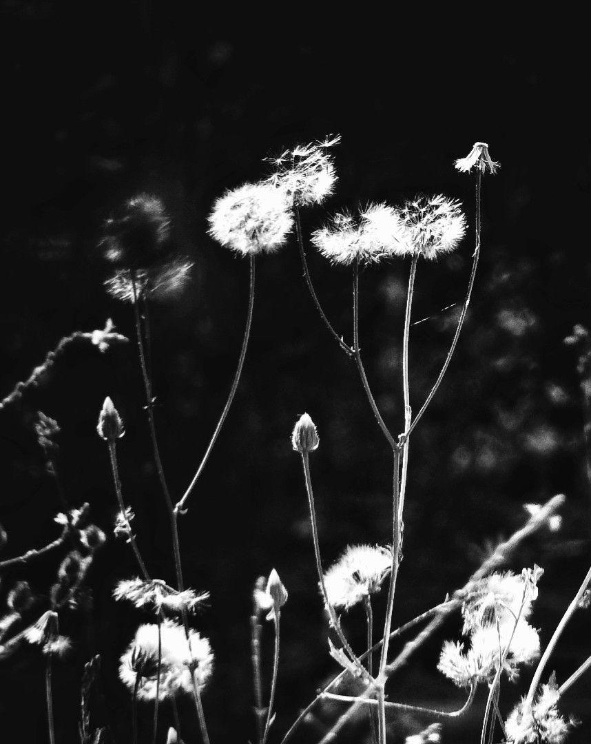 🖤  #myphotography #nature #flowers #flower #dandelions #blackandwhite #freetoedit