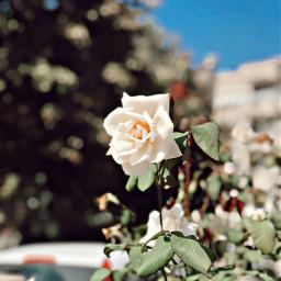 photography white rose beatiful