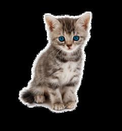 cat kittie cute freetoedit