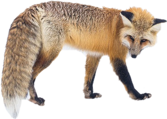 animal wolf freetoedit