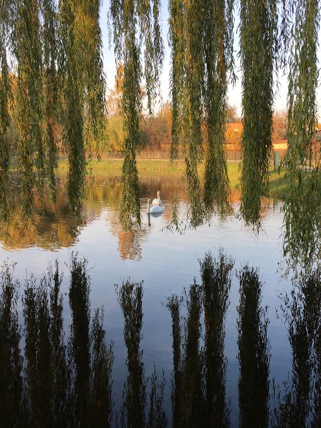 #photography #nature #autumn #lake #swans #freetoedit
