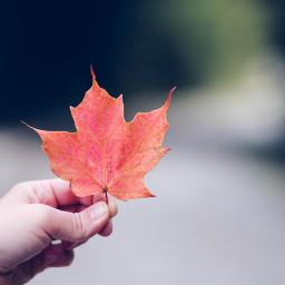 leaf autumn fall freetoedit