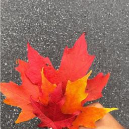 picsart fall autumnleaves redleaf canada freetoedit