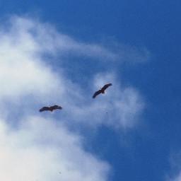 eagles baldeagles sky blue clouds freetoedit