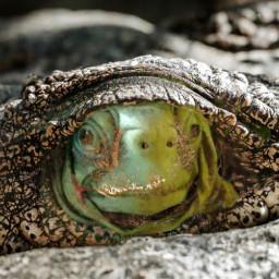 crocodile tortu œuil vert marron