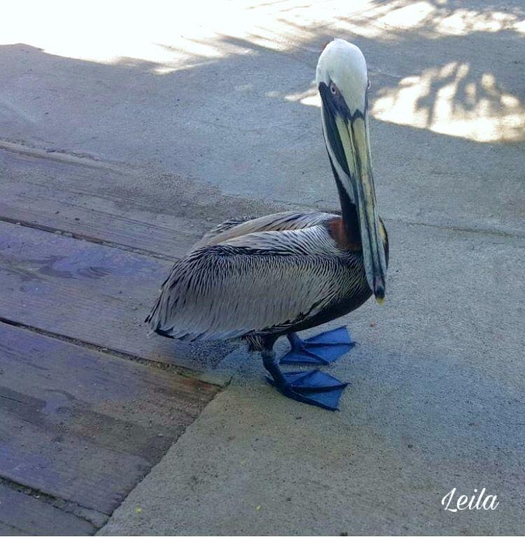#freetoedit #bird #pelican #photography #nature