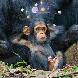 freetoedit picsart stickerchallenge funny monkey srcgalaxycrown galaxycrown