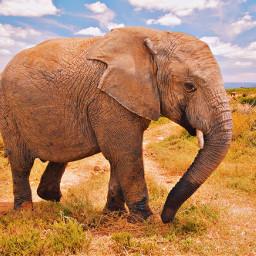 freetoedit afrique elephant mamifere pachiderme