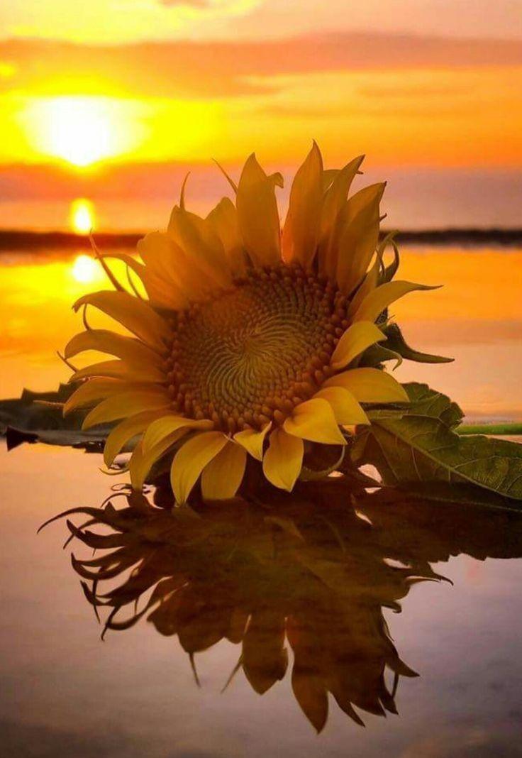 #freetoedit #sunset #sunflower #photography