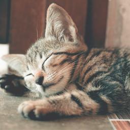 kitty cat pet animal cute freetoedit