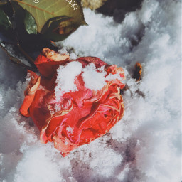 freetoedit frozen rose snow photography