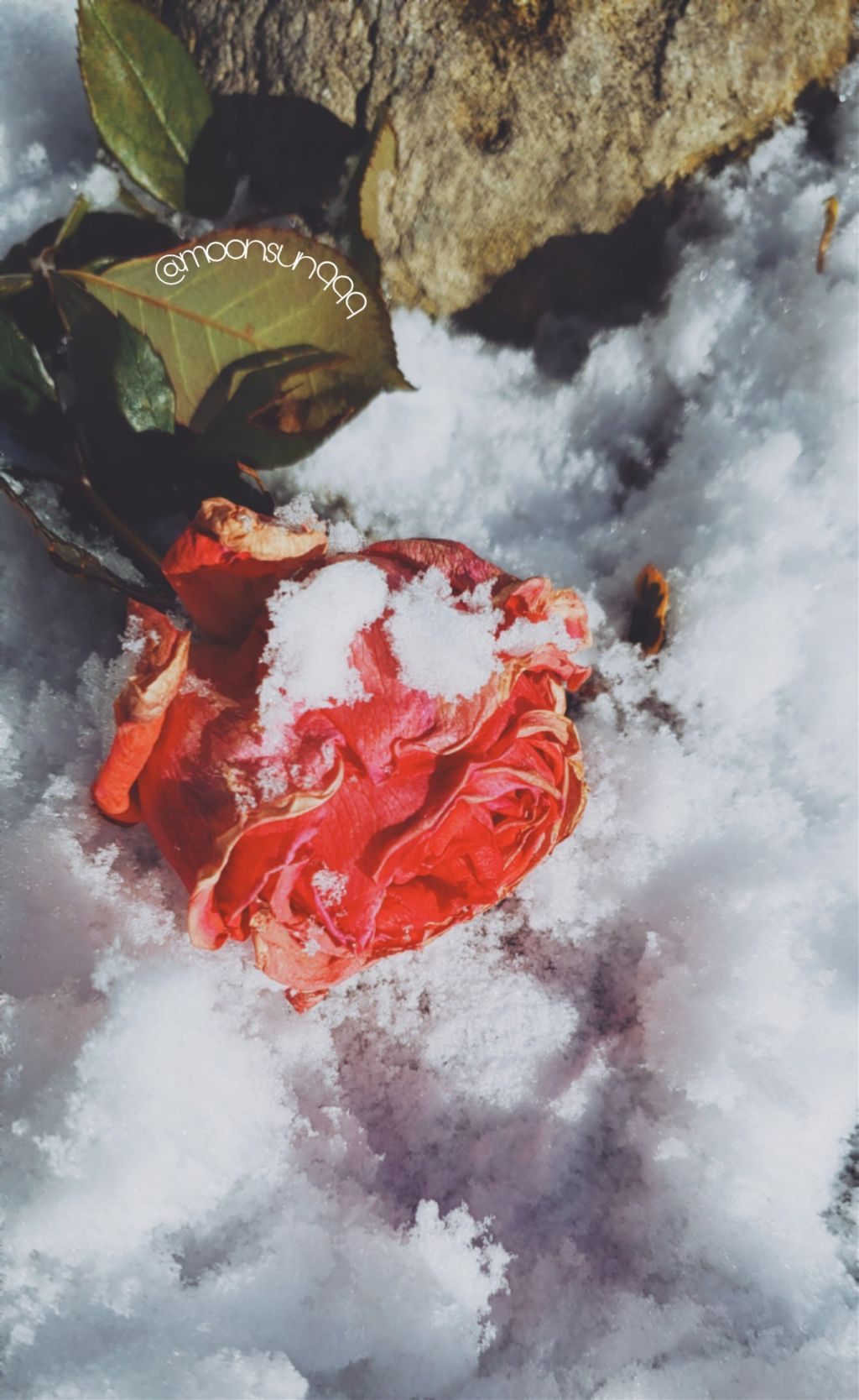 #freetoedit #frozen #rose #snow #photography #myclick