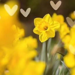 freetoedit daffodil daffodils flower flowers