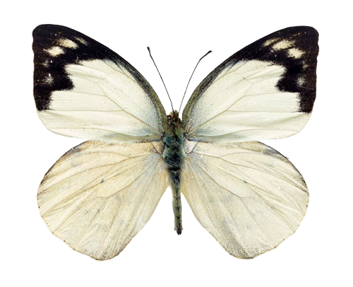 #moth #white #pale #vintage #ghostcore #softcore #softaesthetic #paleaesthetic #insects #bugs #wings #flutter