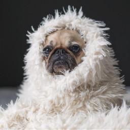 cute cozy dog animal pet freetoedit