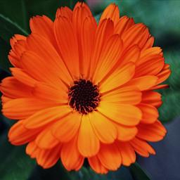 nature flower orange mygarden magiceffectmoonlight freetoedit