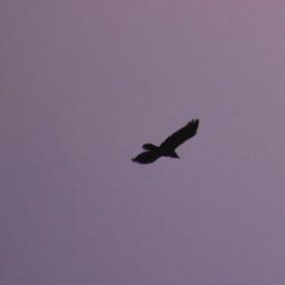 freetoedit photography flyinganimals bird freeasabird