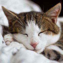 kitty cat cats pet animal freetoedit