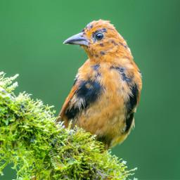 tanager bird nature wild costarica