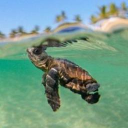 tiernatortuga tierna tortuga pequeña mar freetoedit