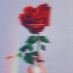 red flower rose
